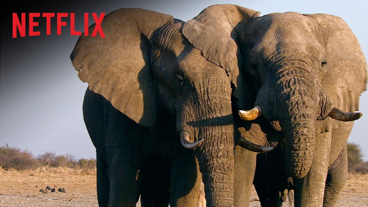 The Ivory Game – Bande-annonce officielle – Un documentaire Netflix [HD]