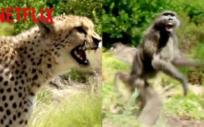 cheetah vs baboon animals on the loose a you vs wild movie netflix futures youtube thumbnail 400x250 - Vidéos